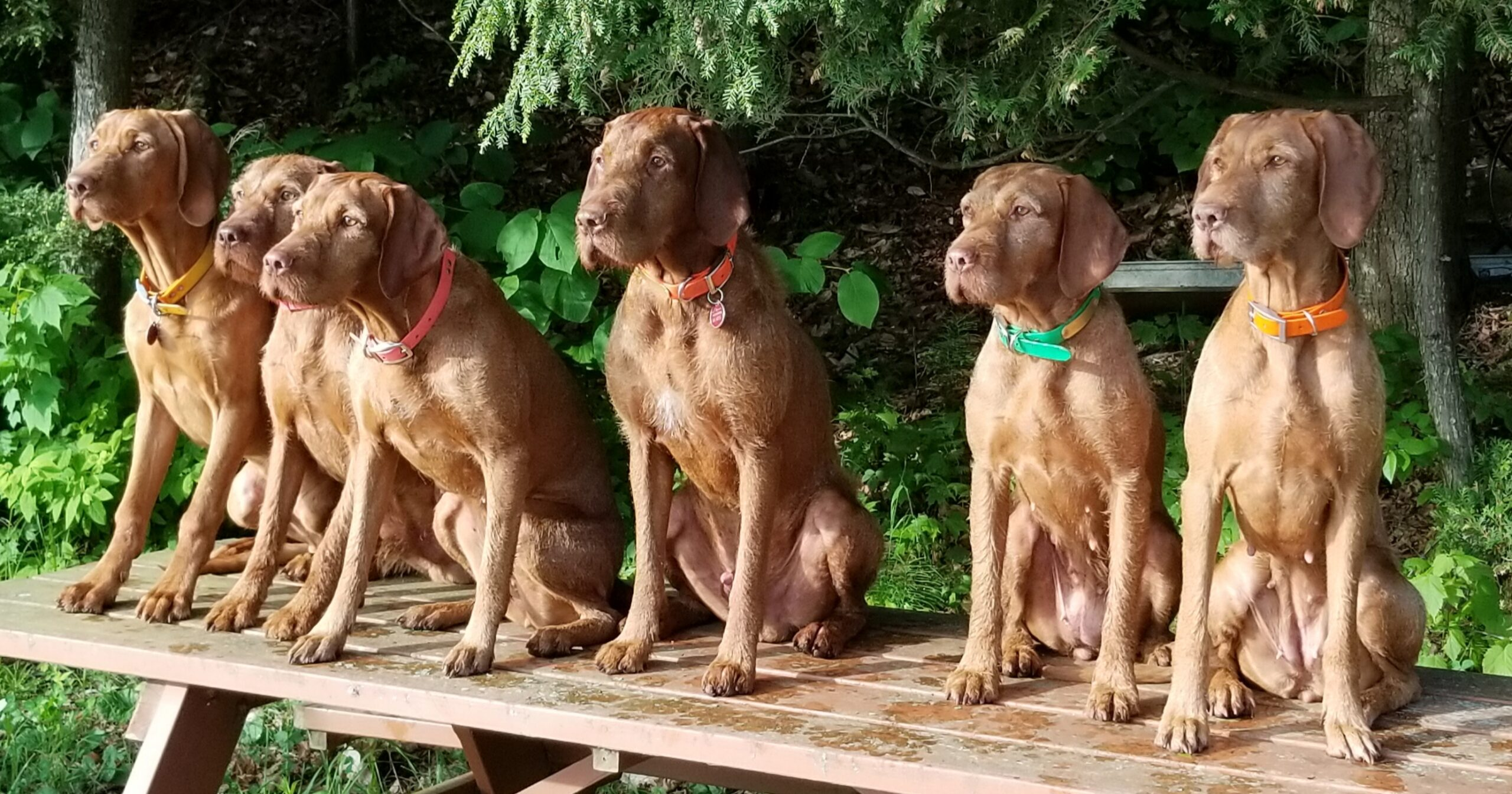 Year in Review: Sarga Wirehaired Vizslas